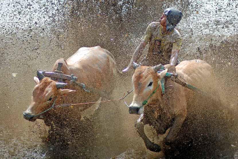 joki-mengendalikan-jawi-sapi-ketika-berlangsungnya-pacu-jawi-_130217015053-344